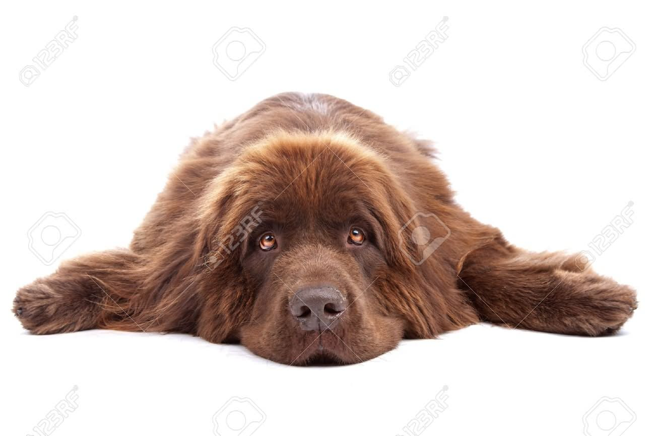 Newfoundland Dog Best