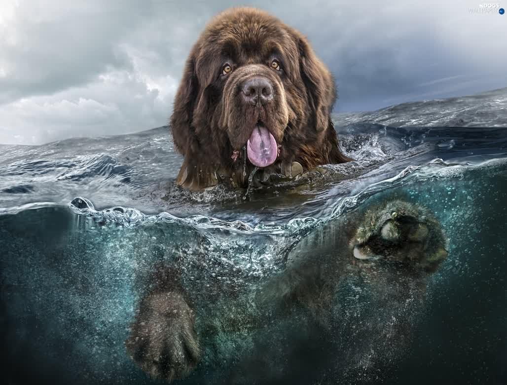 35 Very Beautiful Newfoundland Dog Pictures Newfoundland Swimming