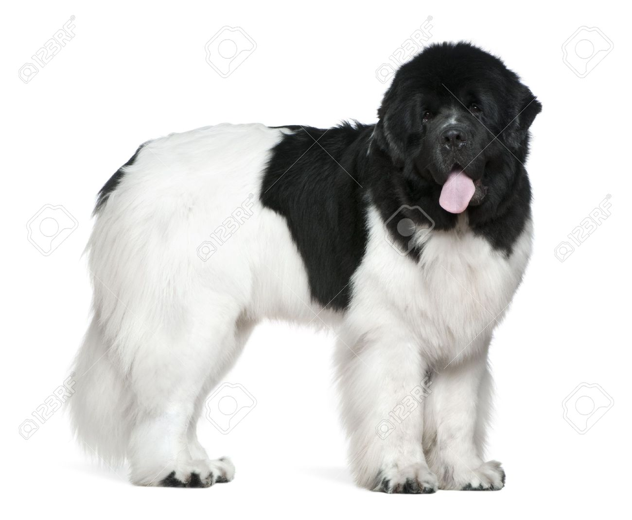 35 very beautiful newfoundland dog pictures - 16 Months Old Black And White Newfoundland Dog