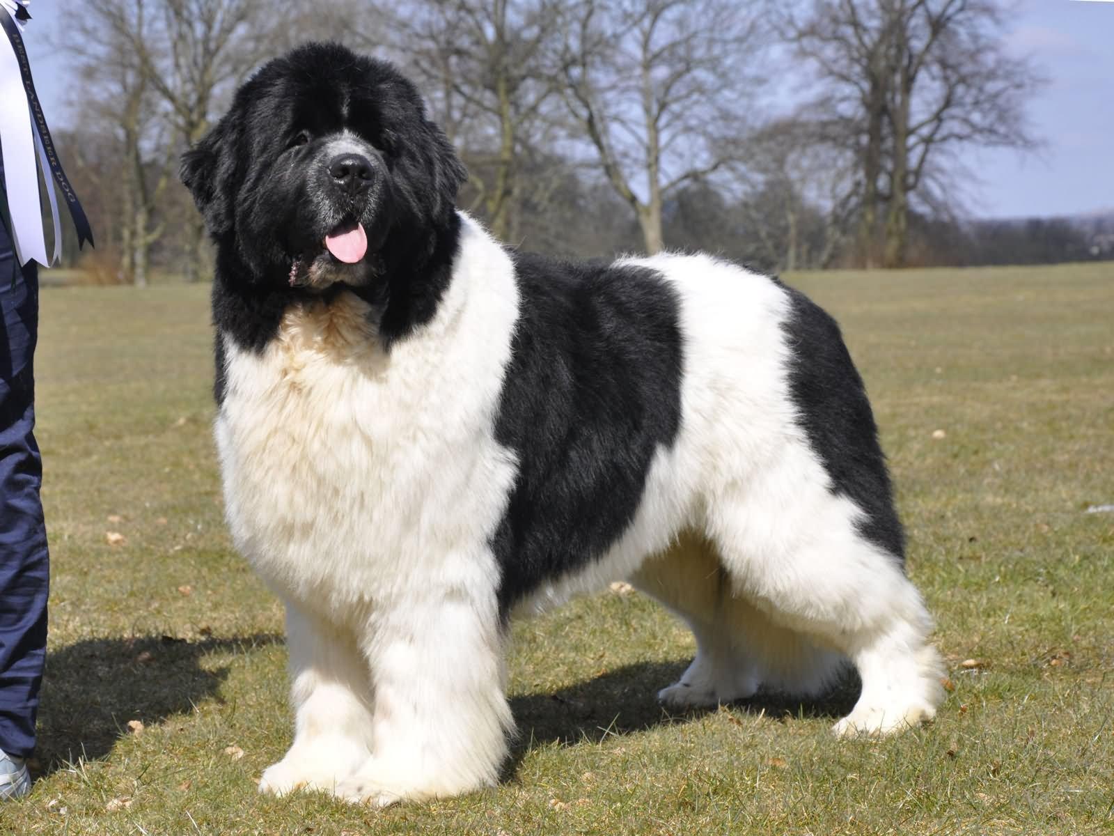 35 very beautiful newfoundland dog pictures - Black And White Newfoundland Dog