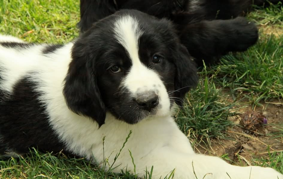 Black and white newfoundland puppy sitting