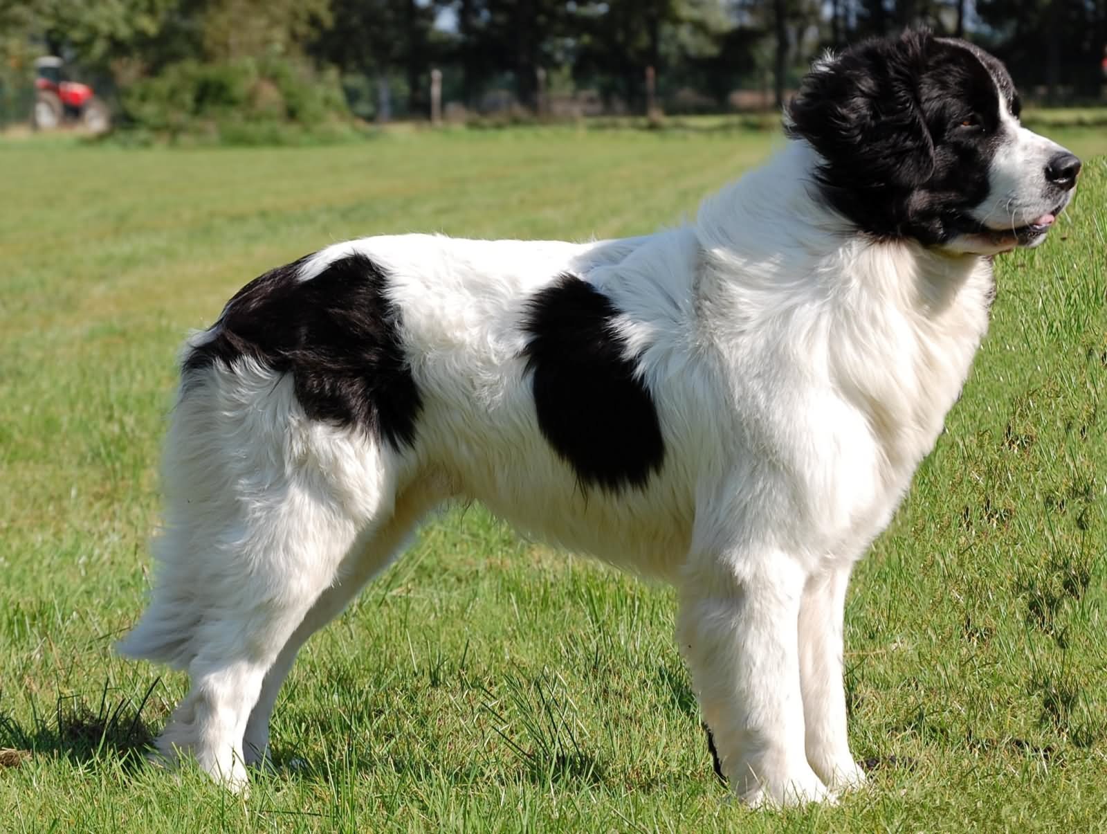 35 very beautiful newfoundland dog pictures - Black And White Newfoundland Standing In Garden