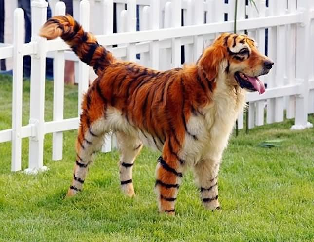 Dog In Tiger Costume Funny Photo & Scorpion Funny Pet Costume