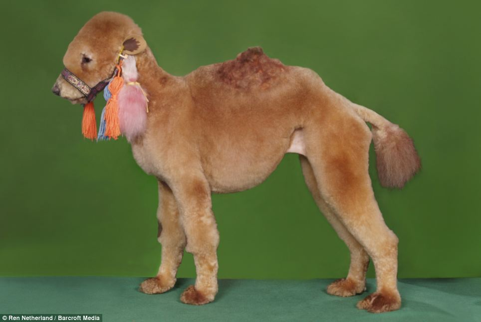 & Dog With Camel Costume Funny Picture
