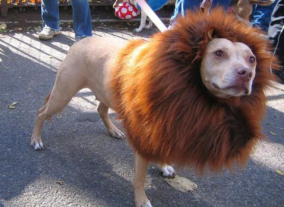 Dog With Lion Costume Funny Picture For Facebook