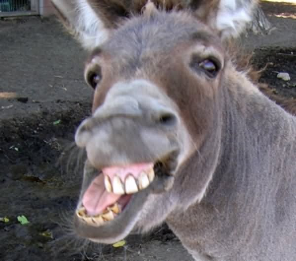 Tristeza Nivel Mil Donkey-With-Big-Smiling-Funny-Face-Image
