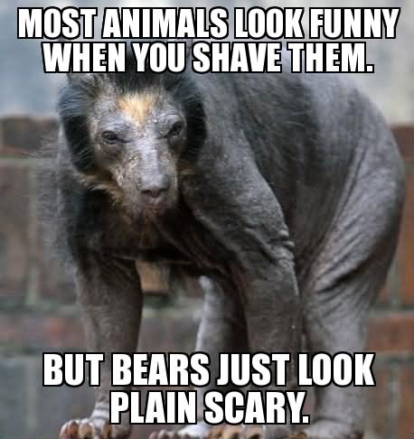 Funny Shaved Bear Meme Picture 35 most funniest bear meme pictures and photos,Meme Bear