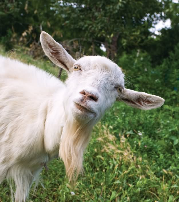 funny looking goat - photo #8