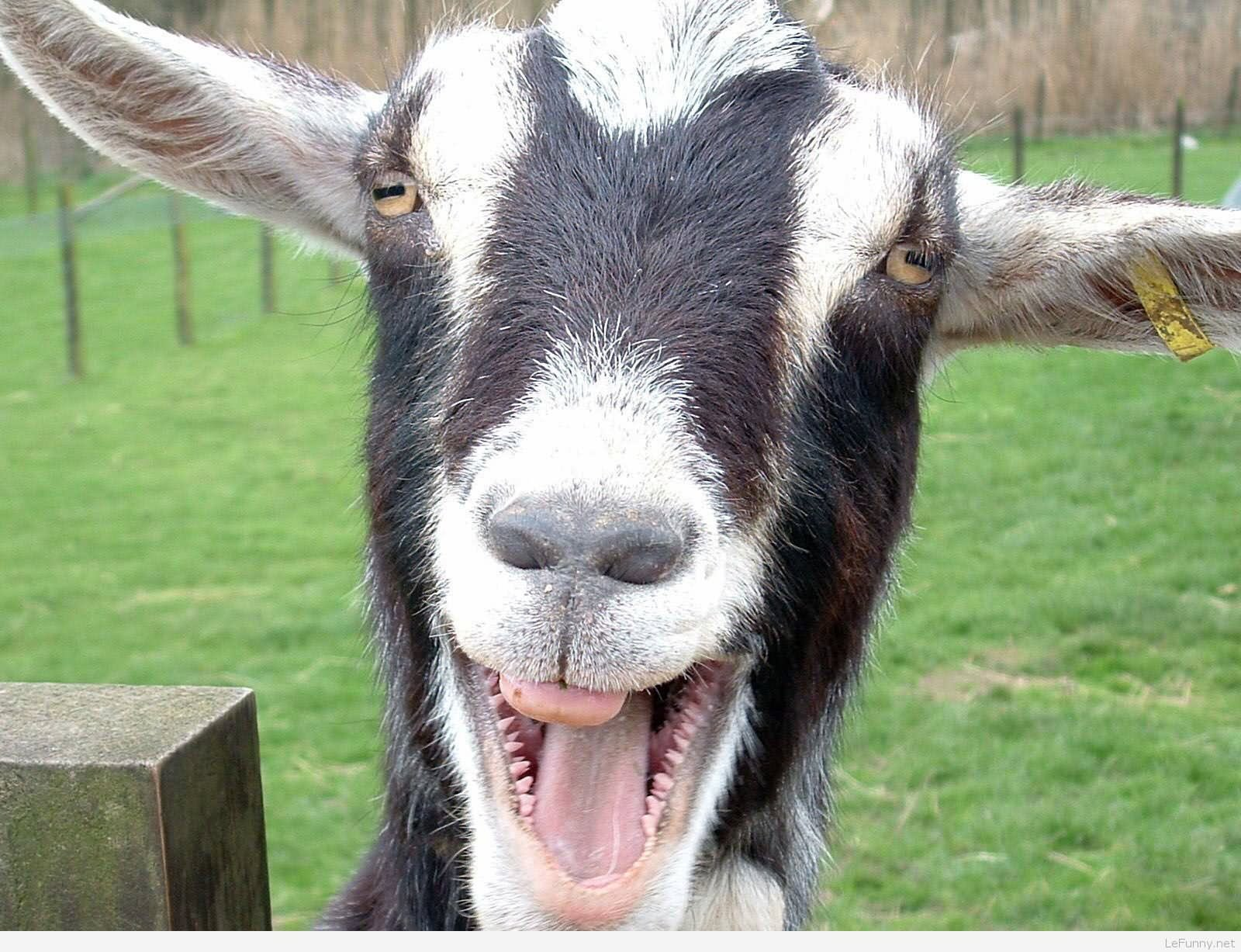 Sad Goat: 20 Funniest Goat Face Pictures That Will Make You Laugh