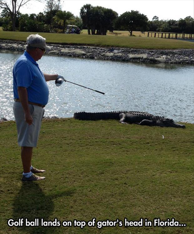 Golf Ball Lands On Top Of Gator's Head In Florida Funny Golf Meme Image