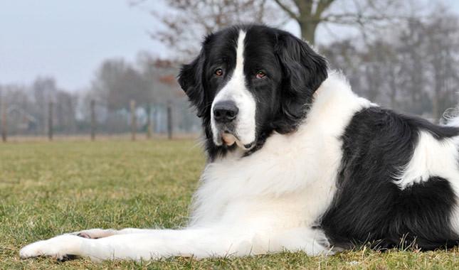 35 Black And White Landseer Newfoundland Dog Images