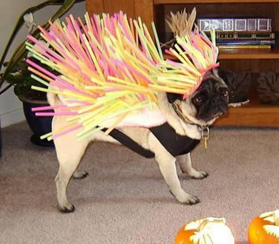 Pug Dog Halloween Costume Funny Picture