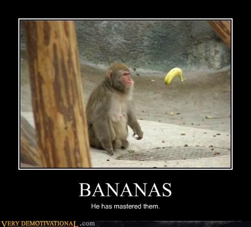 Bananas He Has Mastered Them Funny Monkey Meme Poster