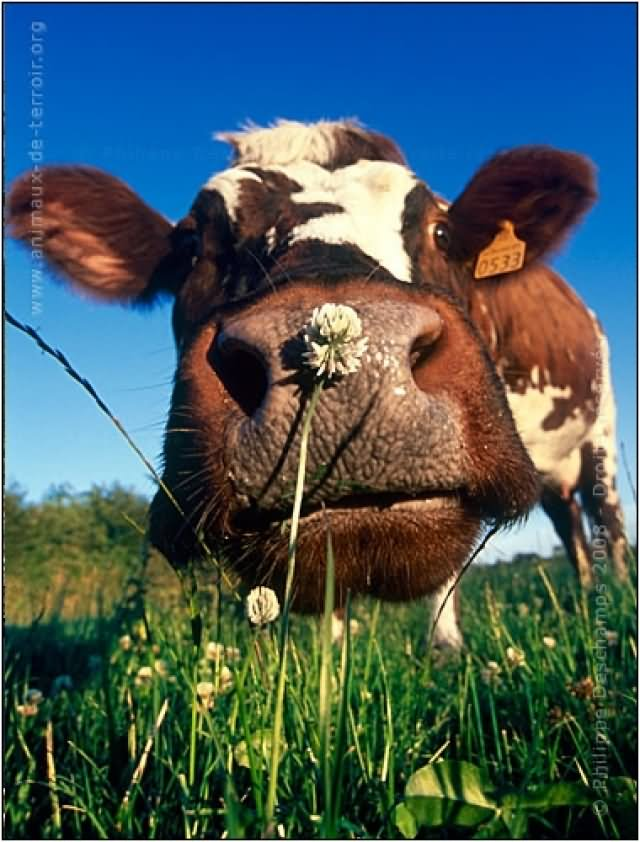 Cow Smelling Flower Funny Face Closeup Picture