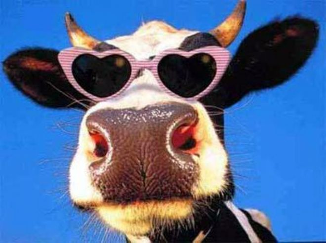 Image result for cow pics funny