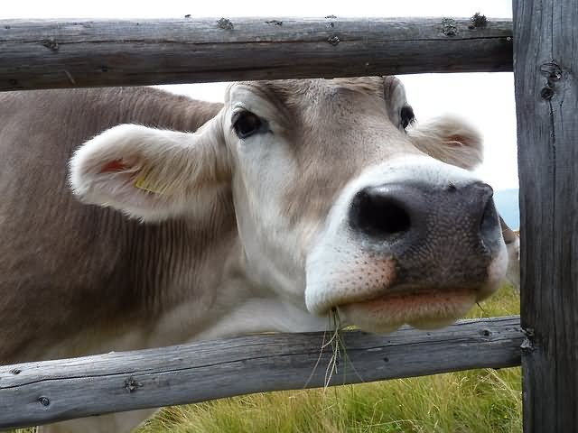 20 Most Funniest Cow Face Pictures Of All The Time