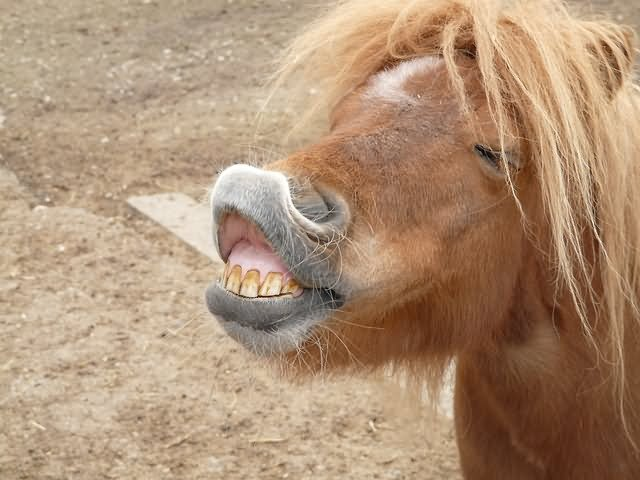 Funny Horse Pony Teeth Face Picture