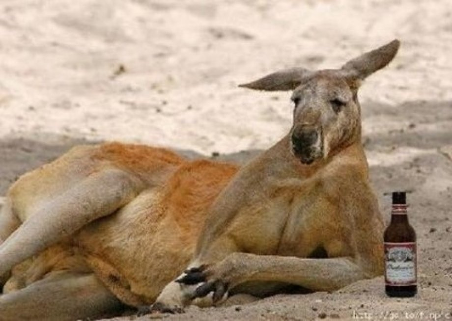 Funny Kangaroo Relaxing Face Picture