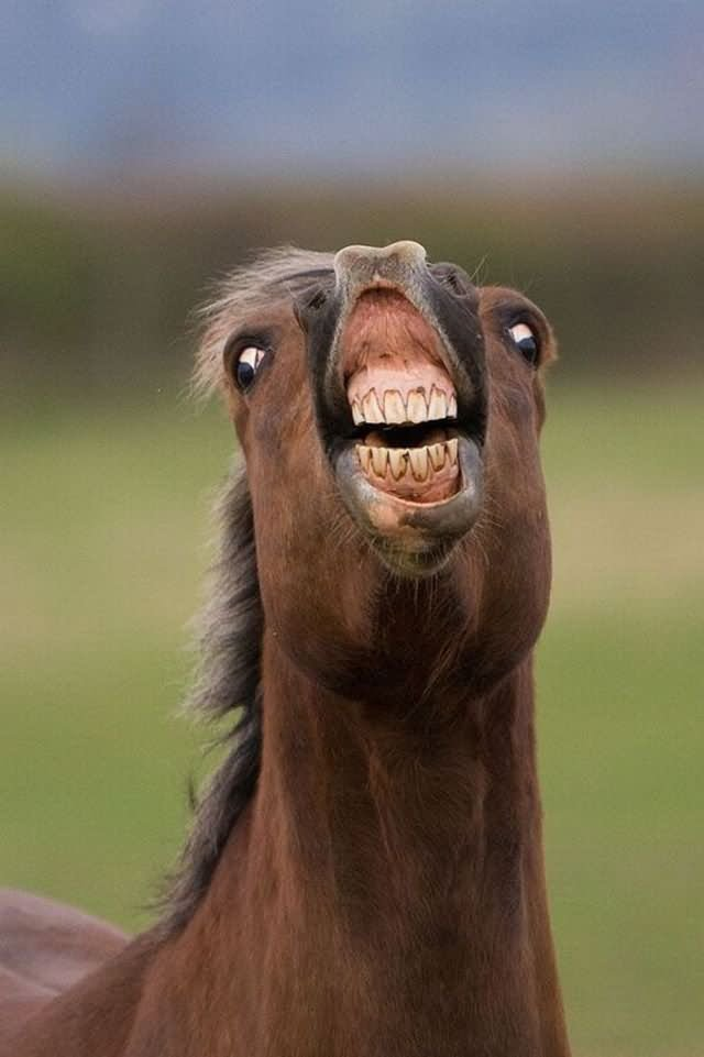 Horse Funny Teeth Smiley Face Photo For Whatsapp 50 very funny horse face pictures and images