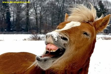 Horse Loud Laughing Face Funny Picture