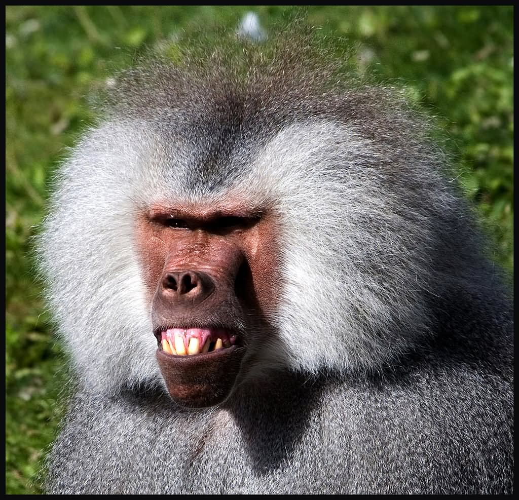 22 Funniest Monkey Face Pictures That Will Make You Laugh
