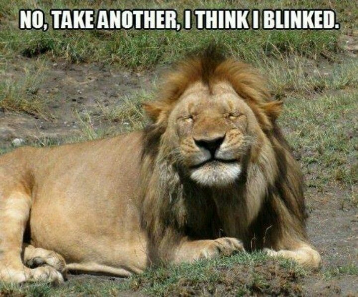 No Take Another I Think I Blinked Funny Lion Meme Picture 50 very funny lion meme pictures and images,Lions Meme