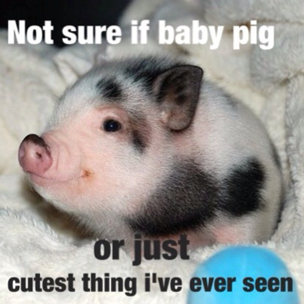 Funniest Meme Ever Seen : Funny baby pigs pixshark images galleries with