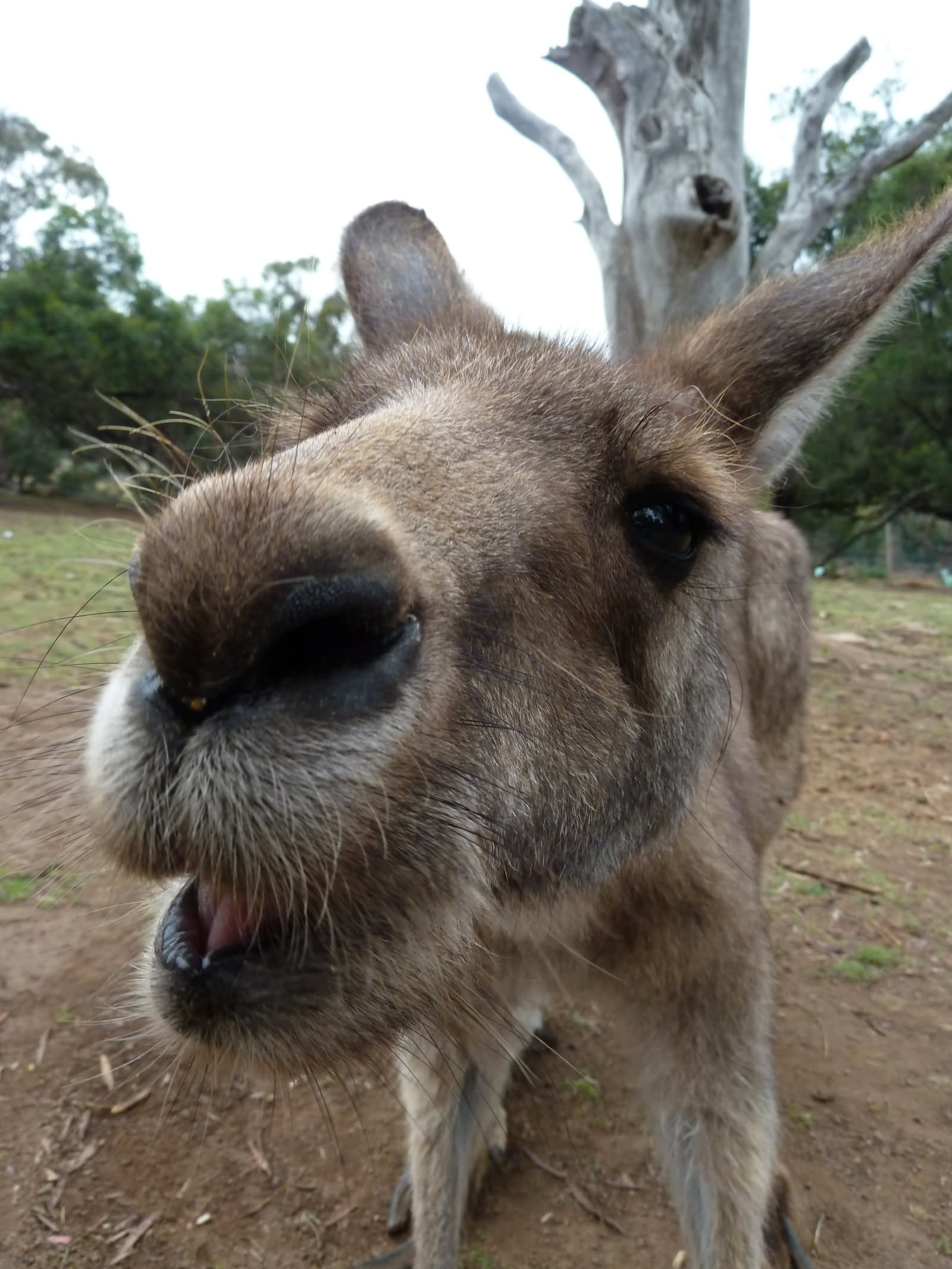 Most Funniest Kangaroo Face Pictures That Will Make You Laugh