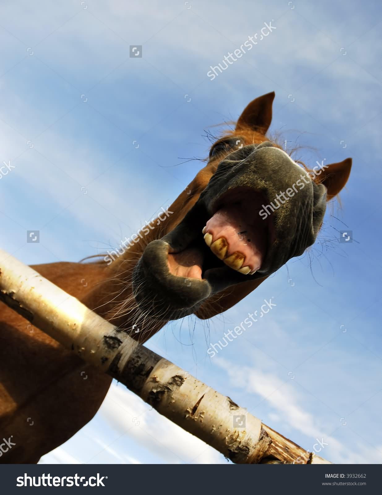 Very Closeup Horse Screaming Face Photo