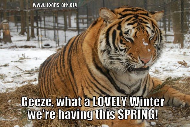 Funny Memes For Winter : 40 most funniest tiger meme images and pictures
