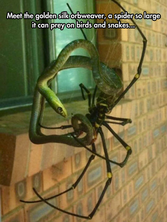 Meet The Golden Silk Orbweaver A Spider So Large It Can Prey On Birds And Snakes Funny Meme Image