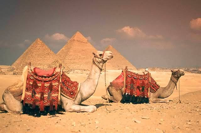 Camels Sitting Near Egyptian Pyramids