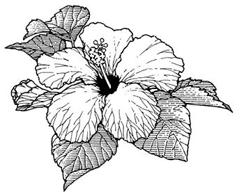 Image Gallery hibiscus outline