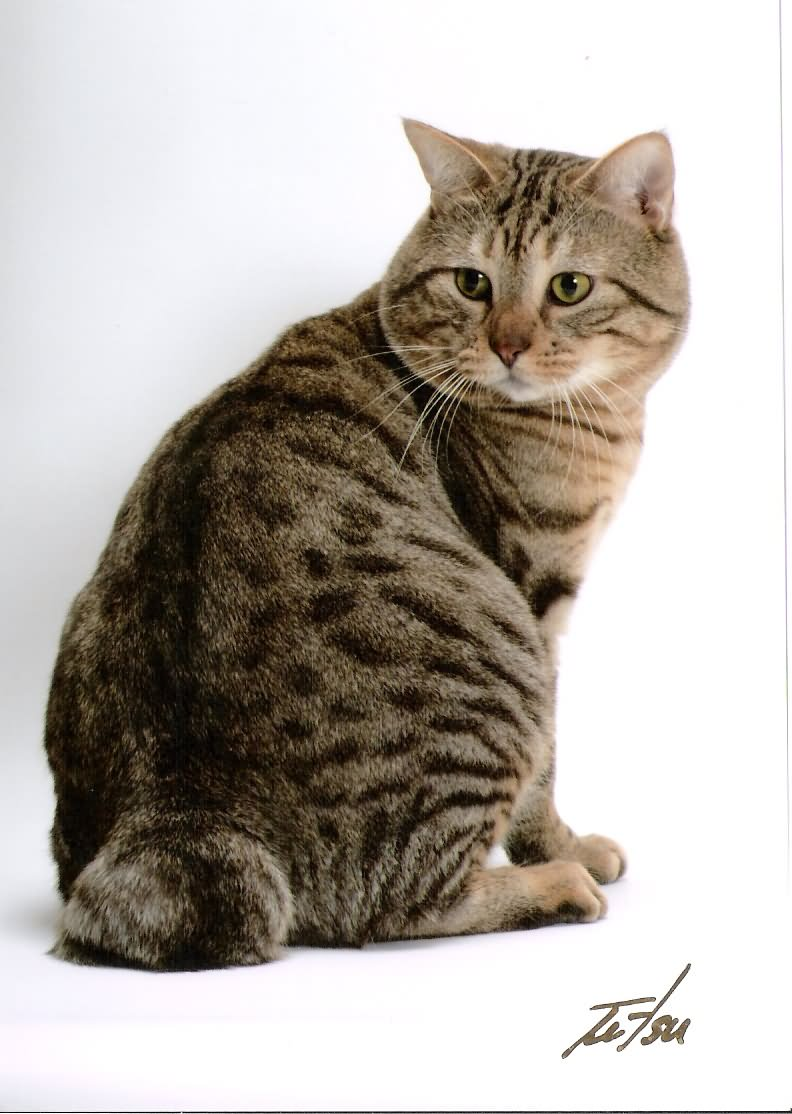 45 Most Beautiful American Bobtail Cat Pictures And Images