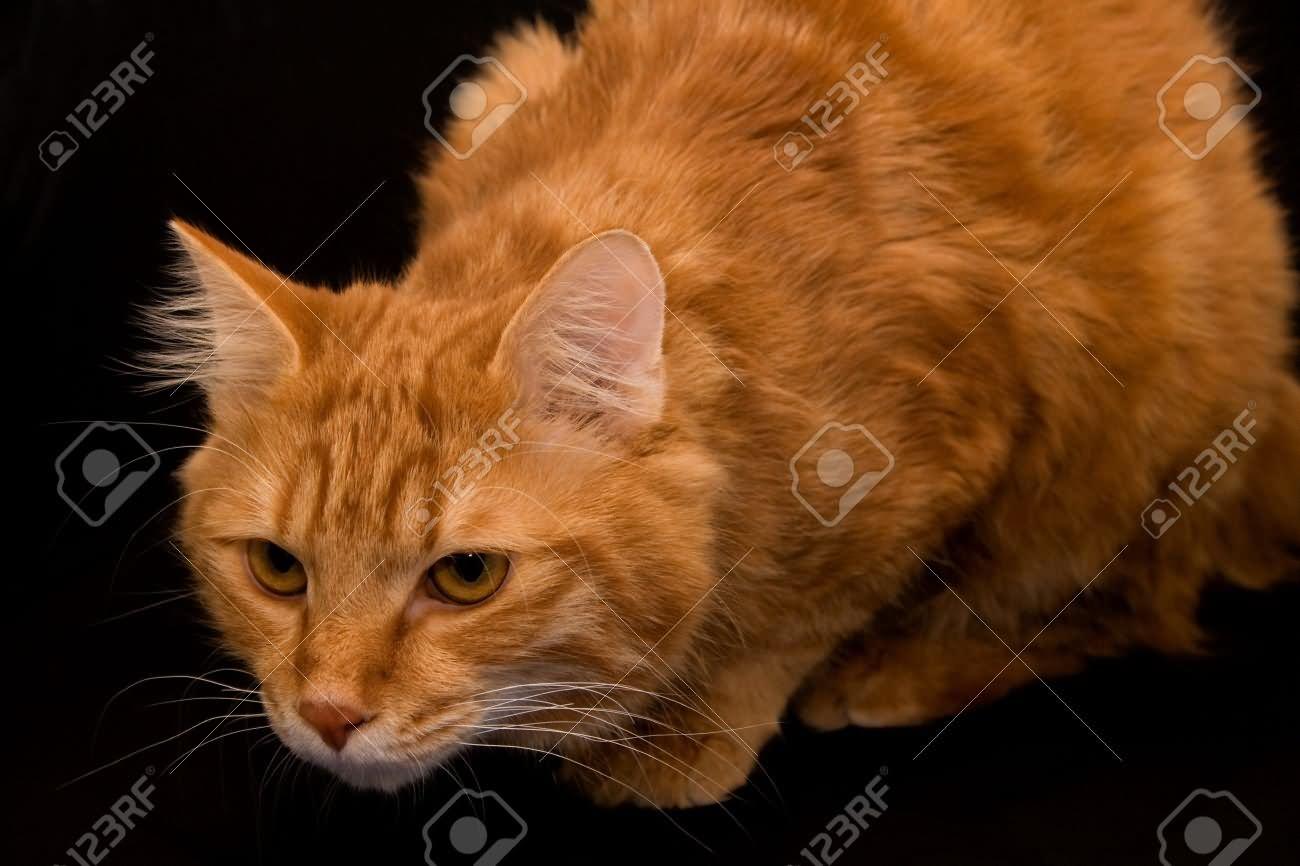 17 Cute Orange American Bobtail Cat And