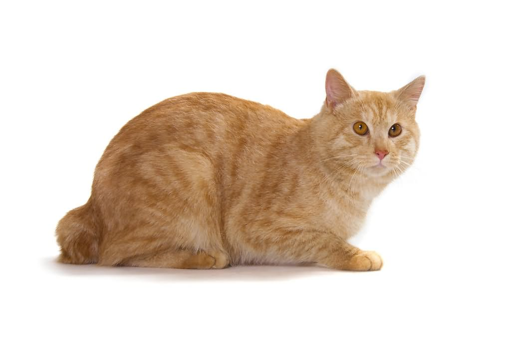 17 Cute Orange American Bobtail Cat Pictures And Images