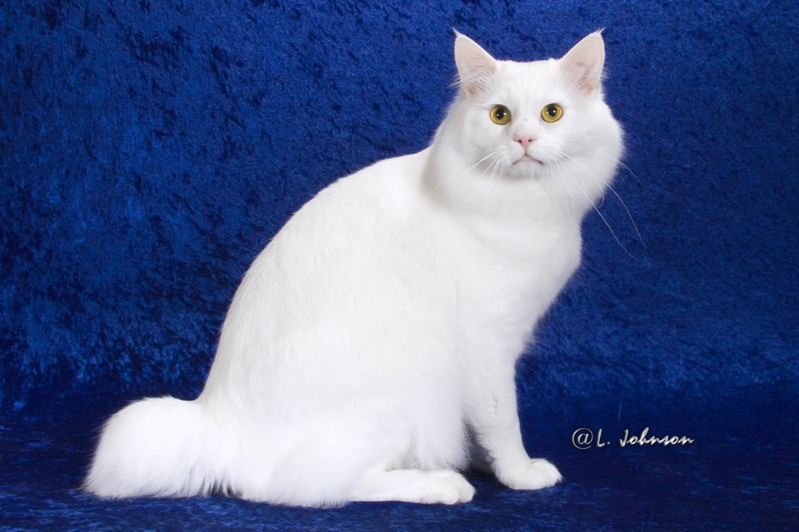15 Amazing And White American Bobtail Cat
