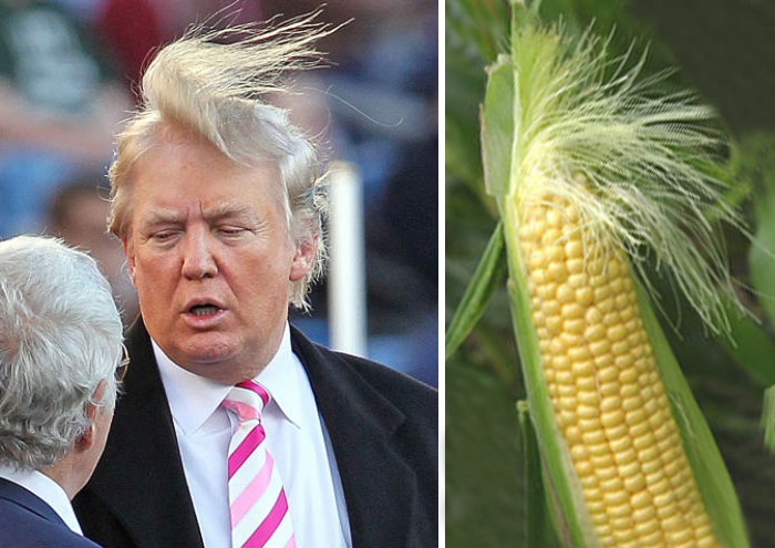 Donald Trump Hair Style Look As A Corn Funny Picture