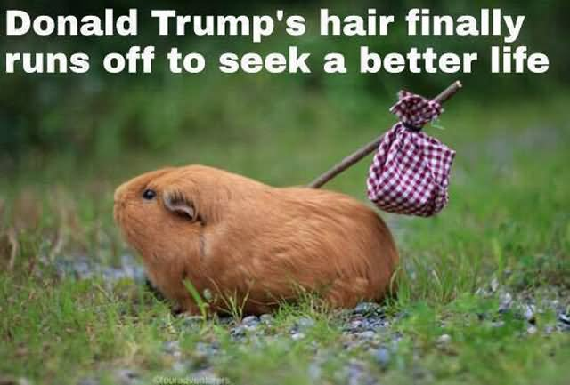 donald trump hair meme 40 most funny donald trump memes that will make you laugh