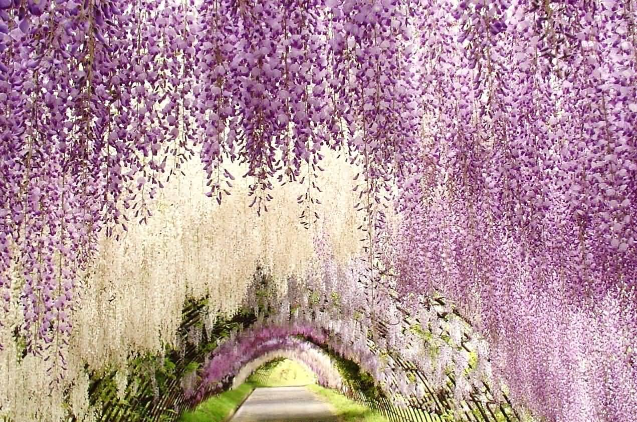 Wisteria Flowers Tunnel At Kawachi Fuji Garden In Japan