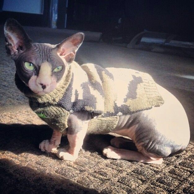 51 Most Adorable Bambino Cat Pictures And Images