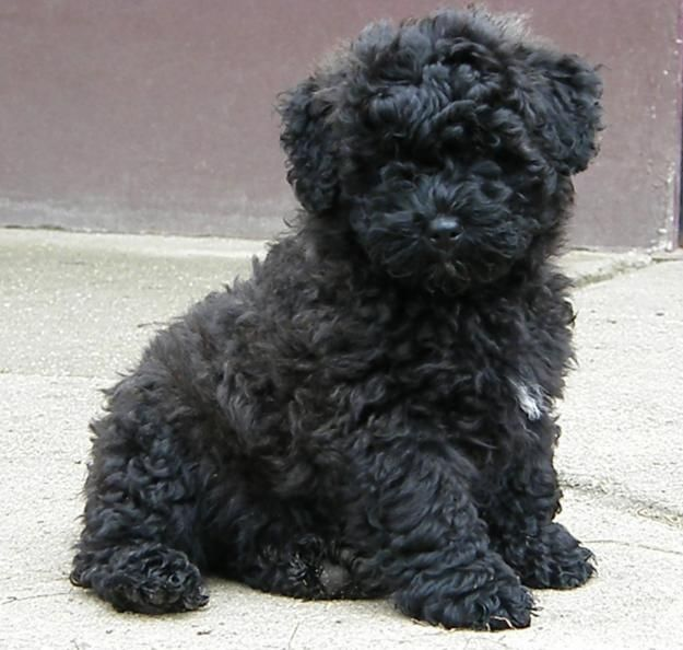 35 Very Cute Puli Puppy Pictures And Photos