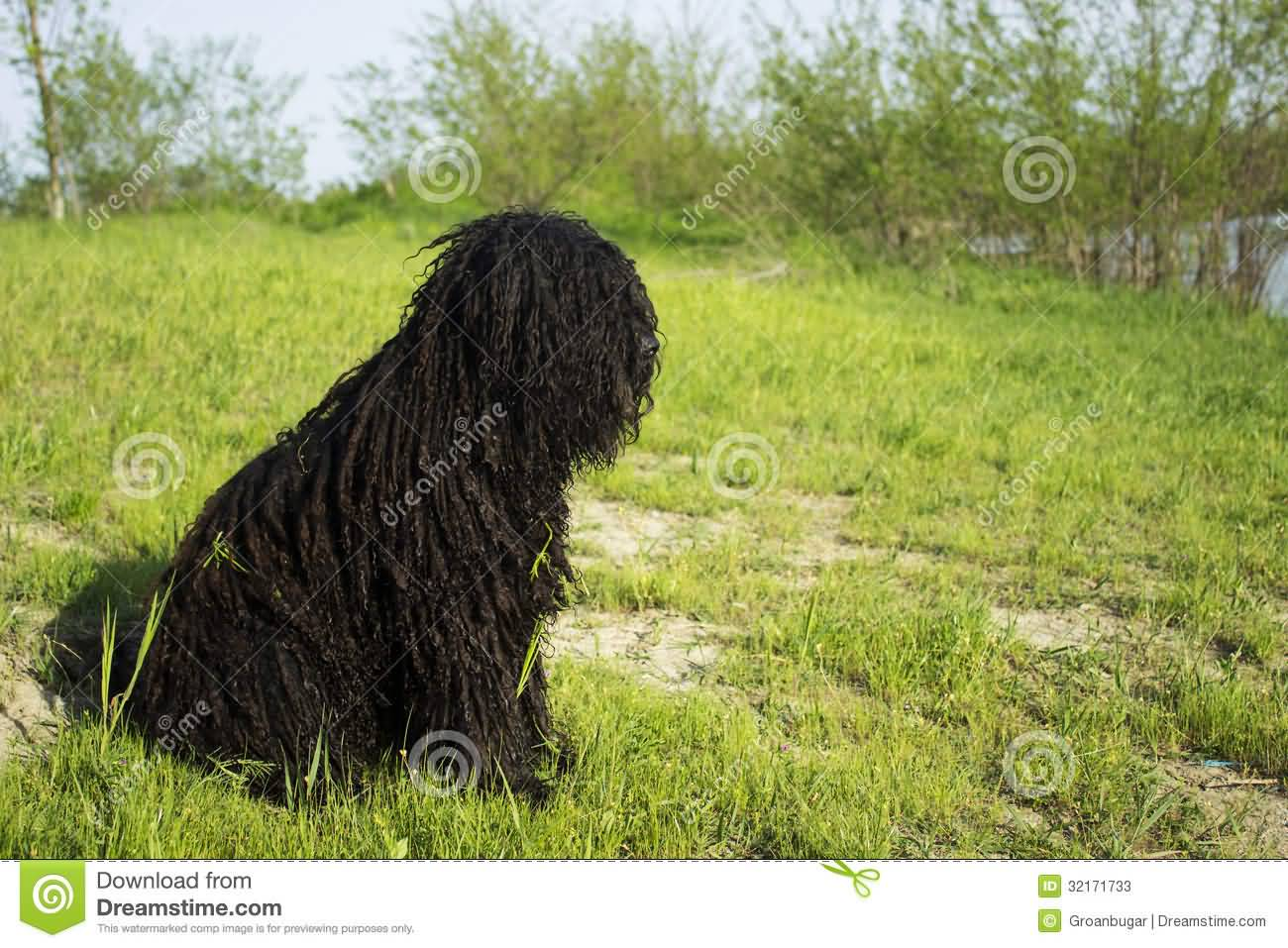 Puli Hungarian Dog Sitting On Grass
