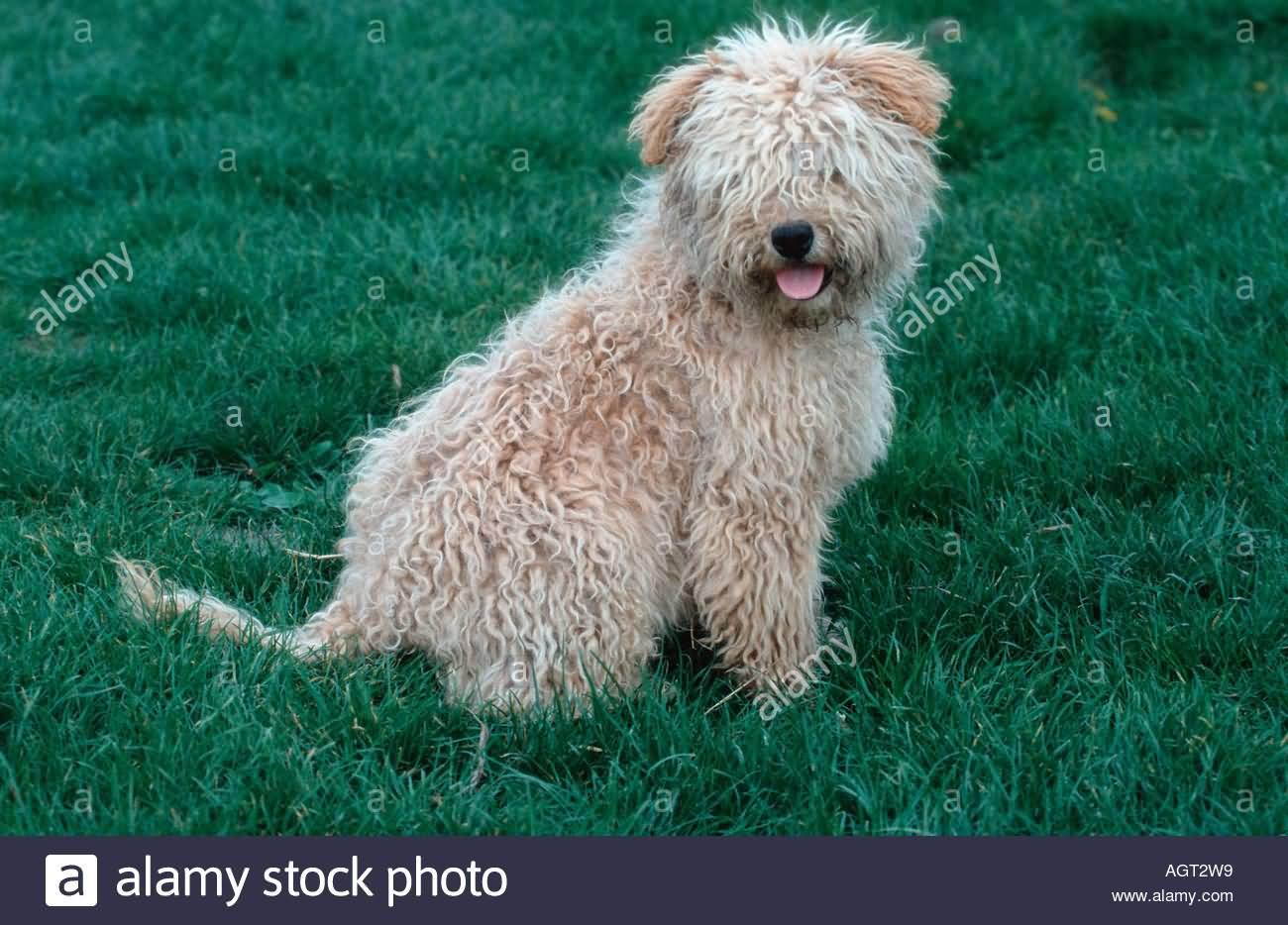 Black Hungarian Water Dog