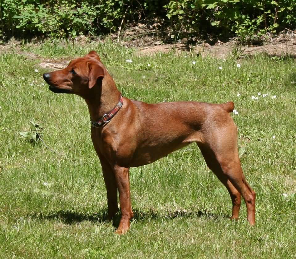 30 very beautiful red german pinscher dog pictures and photos