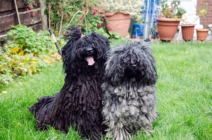 Hungarian Puli Rescue Dogs