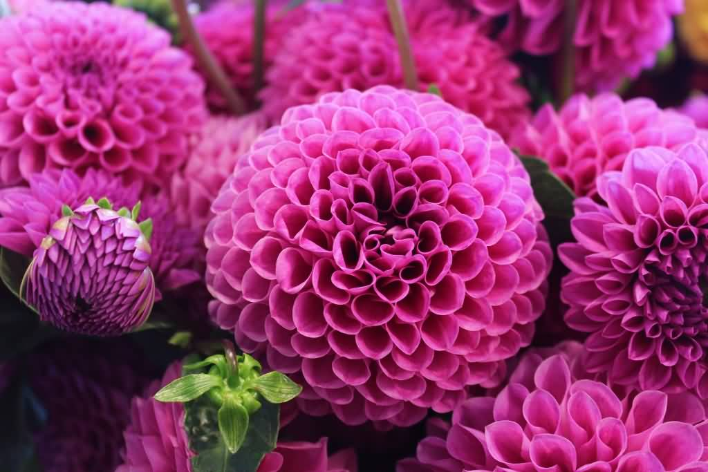 50 most beautiful flower pictures and photos amazing pink flower picture mightylinksfo