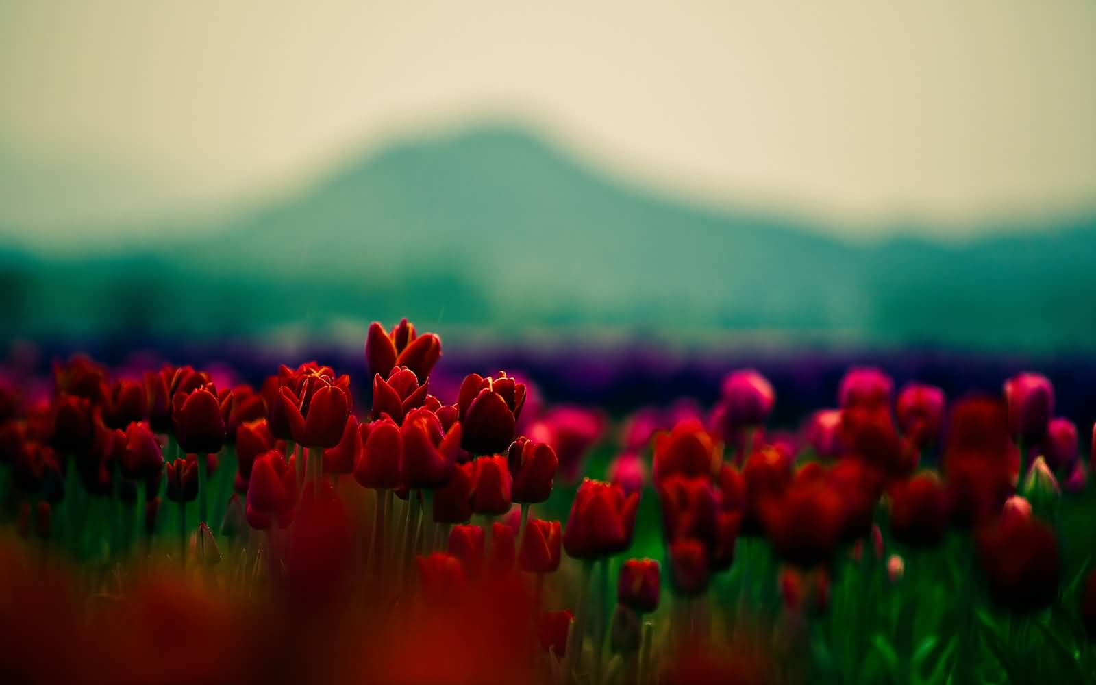50 most beautiful flower pictures and photos amazing red flowers field picture izmirmasajfo