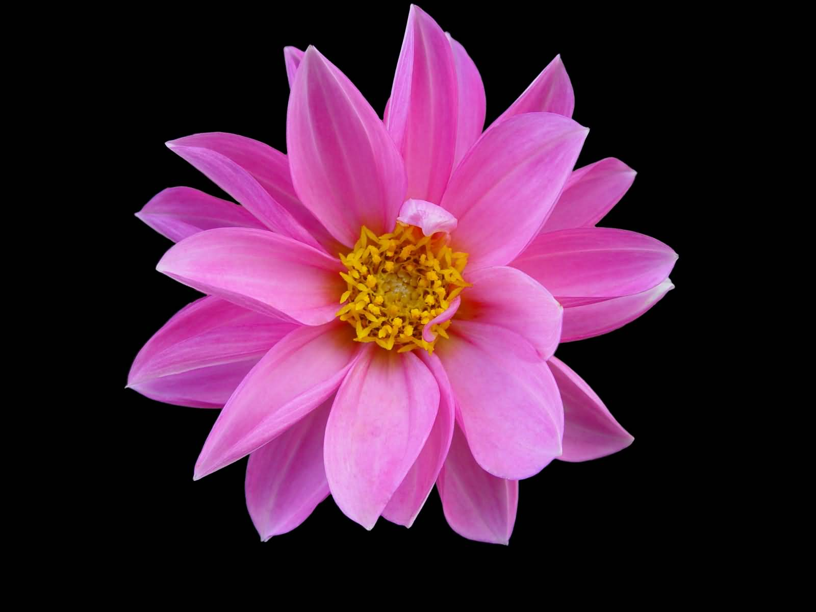 65 best flowers pictures and images cute pink flower picture mightylinksfo