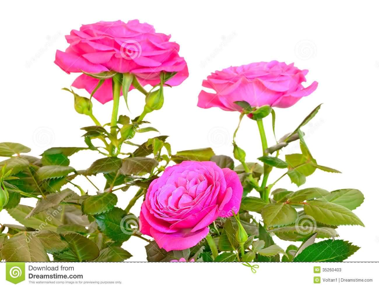 65 best flowers pictures and images pink rose flowers photo mightylinksfo